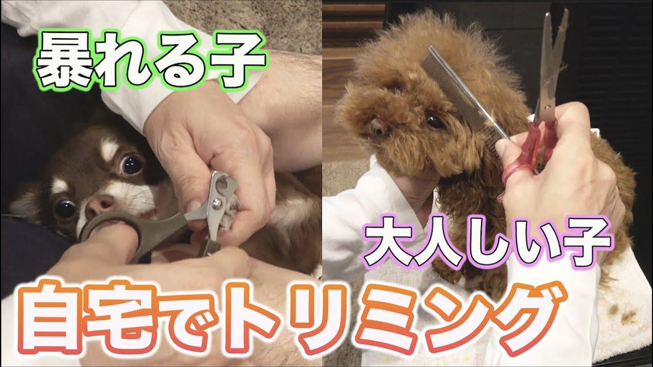 トイプードルとチワワの子犬☆初めてのおウチでカット&シャンプーに挑戦!