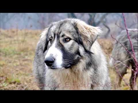 Румынская карпатская овчарка - описание породы собак