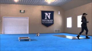 Missy (english Bulldog X Boxer Mix) Dog Training Boot Camp Video