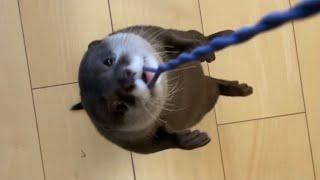 カワウソさくら 回りすぎて猫に軽く引かれたカワウソ Otter turning too much