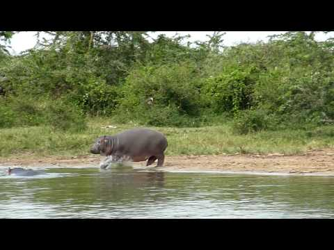 Buffalos and Hippos, Lake Edward, Uganda