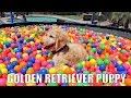 GOLDEN RETRIEVER PUPPY IN TRAMPOLINE BALL PIT