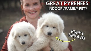 Great Pyrenees are AMAZING family pets! Here's why! / Indoor vs Outdoor? / Puppy Update!