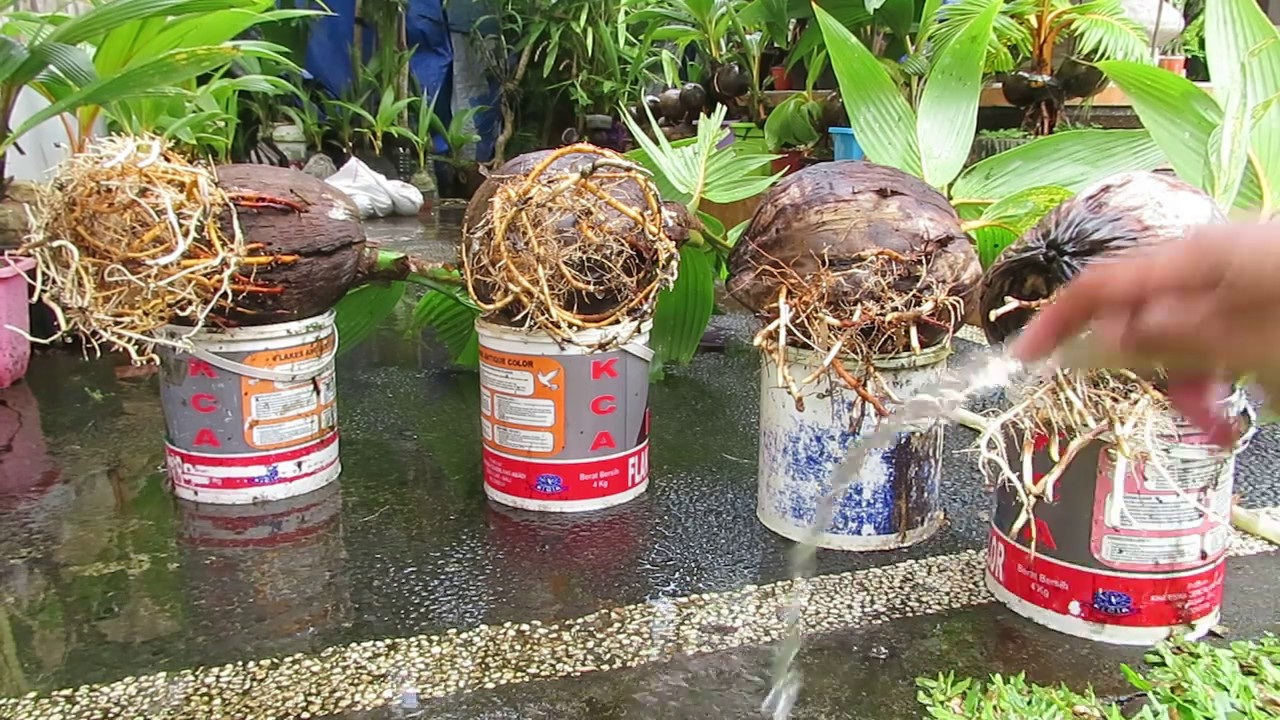 Bonsai Kelapa Gading Media Air Jumbo Youtube