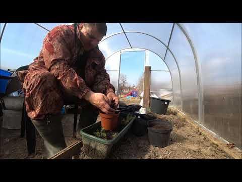 Вопрос: К каким растениям относится кедр?
