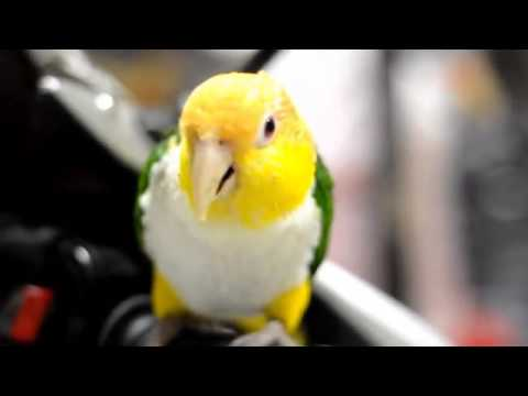 کایک شکم سفید | White Bellied Caique