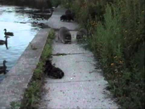 Sheena The Manx Cat, Meets The Raccoons Of The Park!