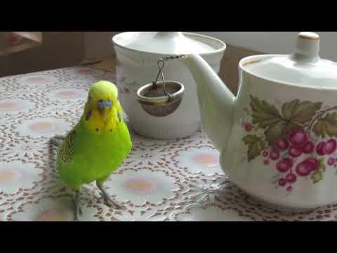 попугай и чай