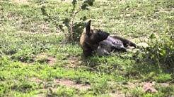 Savannikoira (ennen hyeenakoira)