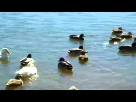 All The Ducks Are Swimming In The Water With Lyrics
