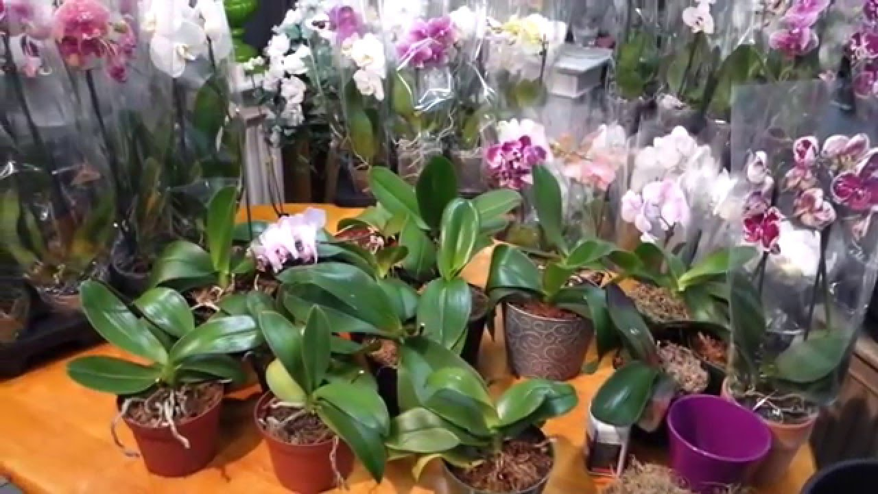 Will Your Phalaenopsis Orchid Bloom Again Experiment Youtube
