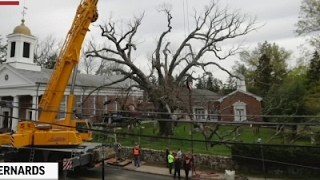 The Last Days of a 600-Yr-Old Tree