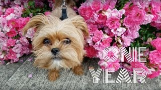 Pepper the Shorkie - One Year