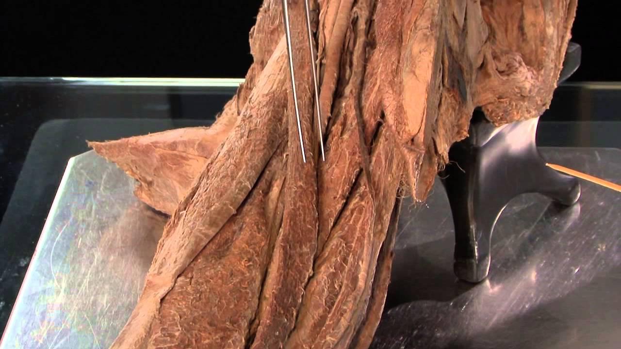 Adductor Canal - Anatomy Tutorial - YouTube
