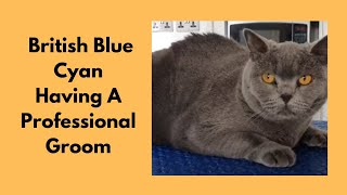 Grooming A British Blue Cat