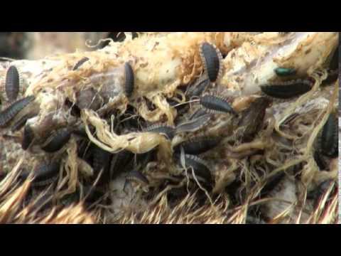 Carrion Beetle Larvae Feeding Youtube