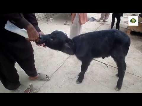 Raising Bottle Calves | Quality Calf Rearing | untrained bottle baby | cattle auction | sabir ali
