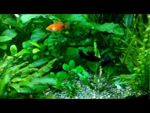 Cemi akvariumi.     Batumi