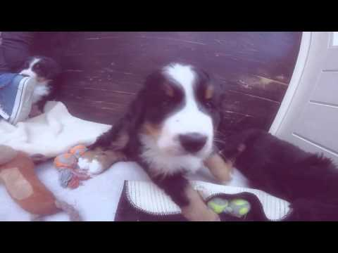 #1 Meet Stella, our Bernese Mountain dog - 6 weeks