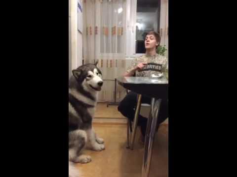 Прикол с собакой дает пять :) маламут
