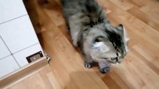Наш питомец/Шотландская вислоухая кошка Тося/ВИДЕО Cat Funny kittens/Что кушает ВЛОГ #1