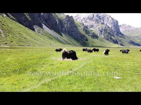Male Yak wallows in dry earth, Yaks graze in meadow of wild flowers | Kham, Tibet