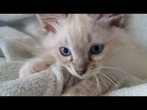 sweet Ragdoll Kitten plays and bites