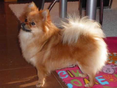 Pomerania cara de zorro corte de pelo