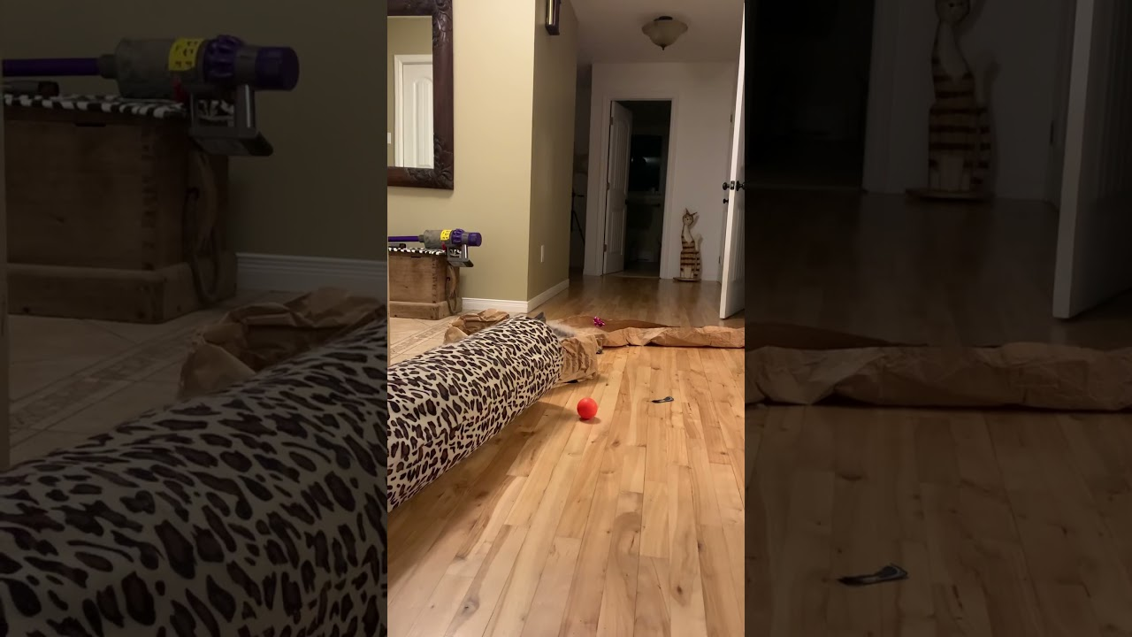 Fluffy Maine Coon Cat   Plays with Ball   #shorts