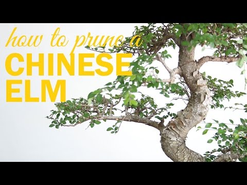 How to Prune a Chinese Elm Bonsai : 2 Key Techniques