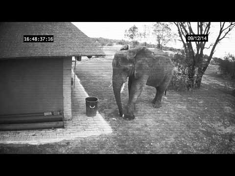 Elephant caught on CCTV cleaning up the trash