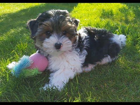 Biewer Terrier / Dog Breed