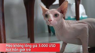 Mèo không lông giá 3.000 UŠD hút hồn giới trẻ