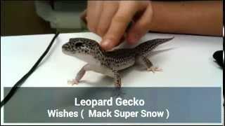 Leopard Gecko Stroking