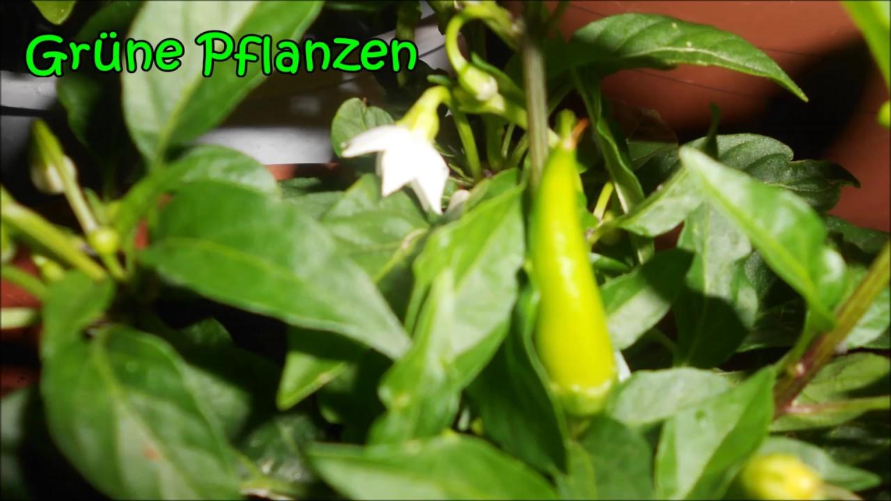 Beeindruckend Grüne Pflanzen Galerie Von Lateinamerikanische Musik Gitarre Instrumental Karibische Traditionell -