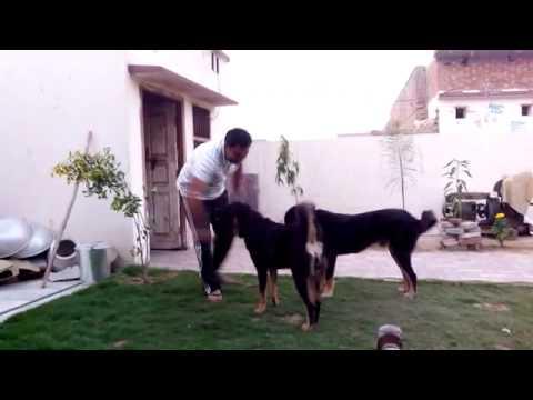 himalayan gaddi   bhutia sheep dog at gidara bugyal cam