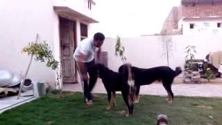 Gaddi Dog Tibetan Mastiff(3)