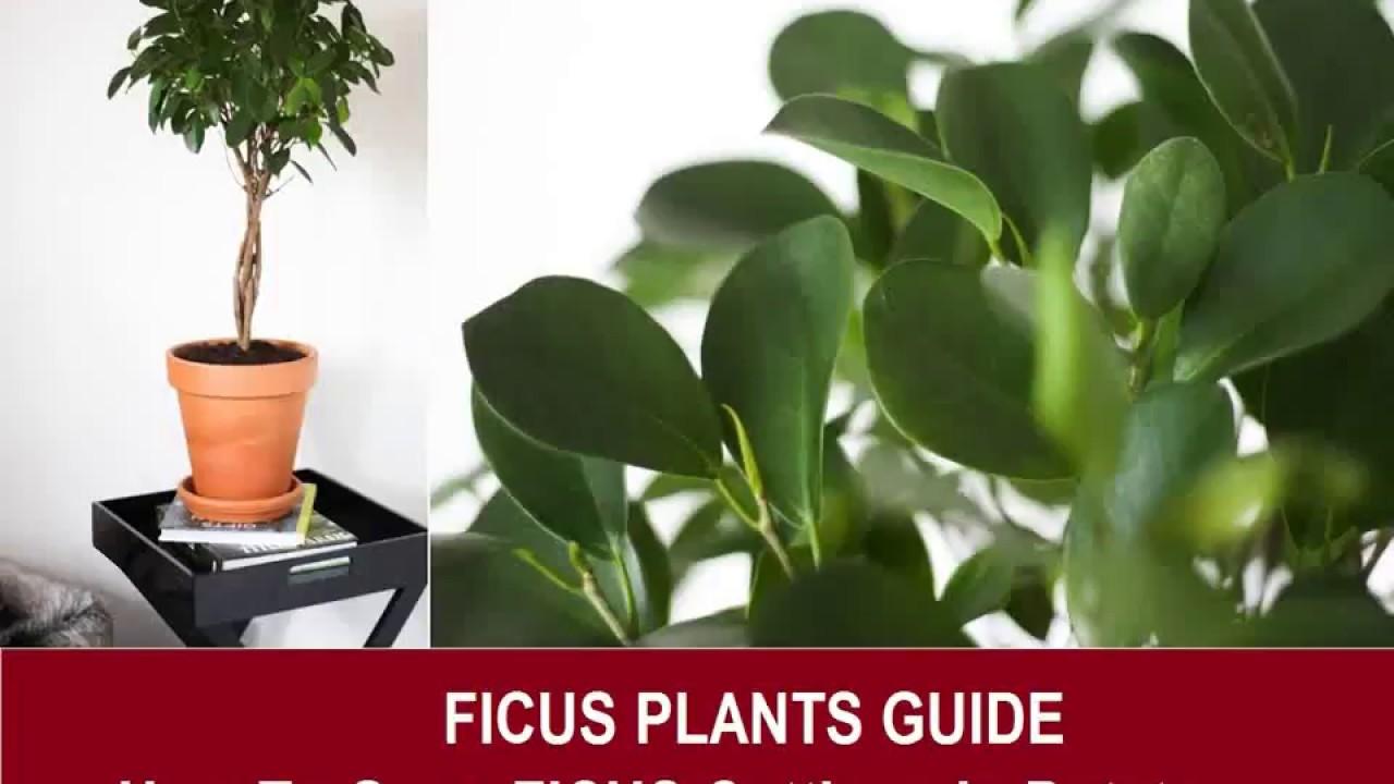 Come Riprodurre Il Ficus Benjamin ficus in potatoes