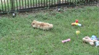Teacup Pomeranian Puppies For Sale, Teacup Poodle Black Female Puppy For Sale