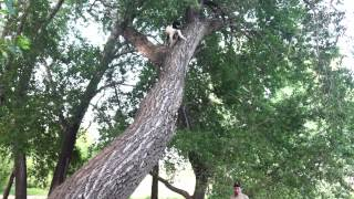 Treeing Walker Coonhound Mix Climbing Tree. Elvis.