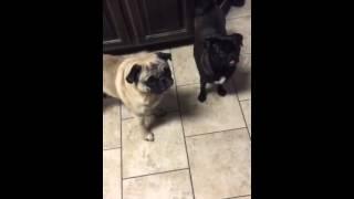 Pug Versus Backpack