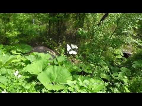 ヒメウスバシロチョウの飛翔 Parnassius stubbendorfii