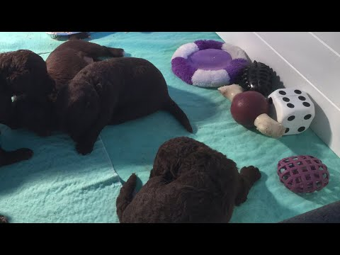 3 week old Labradoodle puppy service dogs