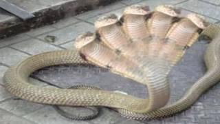 Chuyện Lạ Có Thật - Kinh hoàng rắn 5 đầu xuất hiện