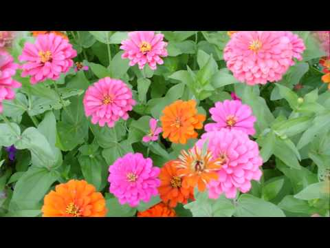 My Flower Garden ♠ Zinnias
