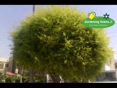how to make bonsai tree in hindi