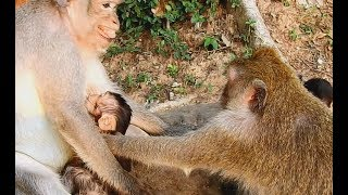 Why nasty female monkey do bad on baby -Mom stare very angry and screaming.