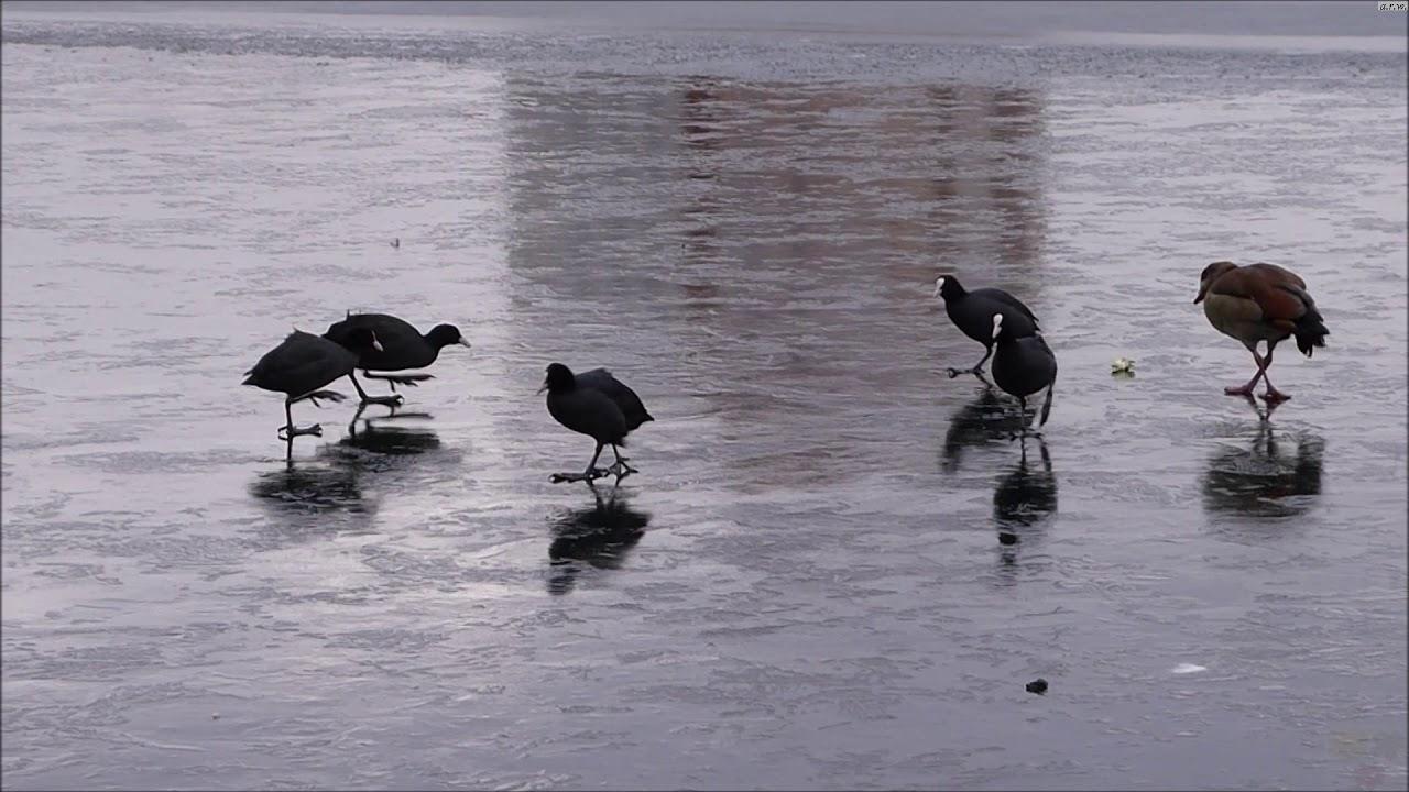 Waterbirds sliding on ice.