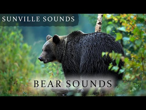 10 Hours of Bear Sounds