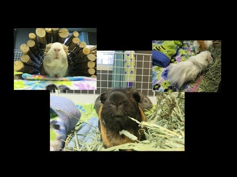 Koala Cage Clean: Guinea Pig Fleece